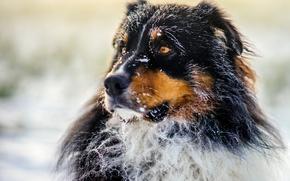 Picture dog, morning, sun, bokeh, frost, frosty, australian shepherd, canine