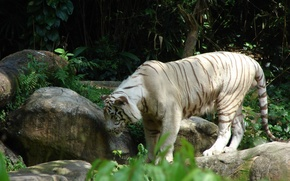 Picture cat, white, tiger, stones, large