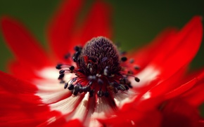 Picture flower, macro, petals, red, anemone