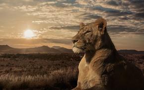 Picture sunset, Leo, Savannah, lioness