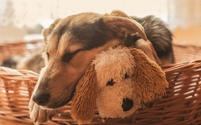 Picture dogs, face, toy, sleep, dog, sleeping