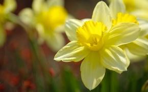 Picture macro, petals, yellow, daffodils, bokeh