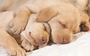 Wallpaper Labrador, sleep, noses, paws, puppies