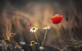 Picture summer, flowers, ladybug, Maki, chamomile, spikelets