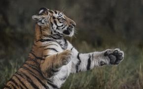 Picture pose, predator, cub, Tiger