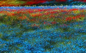 Picture field, flowers, carpet, meadow