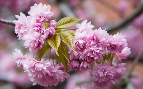 Picture macro, flowers, branch, Sakura, flowering