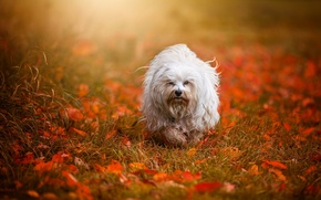 Picture autumn, leaves, dog, The Havanese