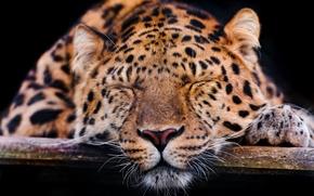 Wallpaper mustache, face, paw, leopard, sleeping, the dark background