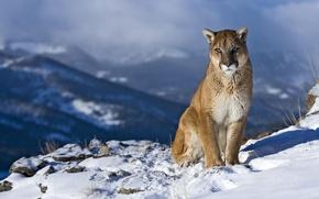 Picture look, snow, landscape, mountains, rock, curiosity, Puma, mountain lion, Jaguar