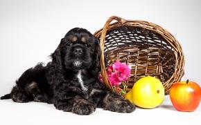 Picture basket, puppy, fruit, Cocker Spaniel