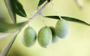 Picture leaves, macro, branch, olives