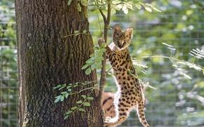 Picture cat, tree, cub, kitty, Serval, ©Tambako The Jaguar