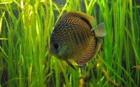Picture water, algae, aquarium, diskus, R ybka