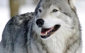 Picture face, wolf, portrait, predator