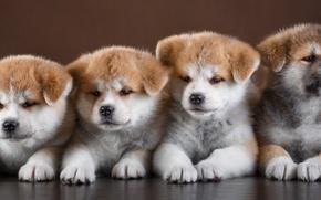 Picture puppies, Quartet, cute, Akita