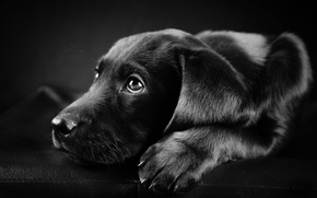 Picture photo, black, white, dog, Labrador, black