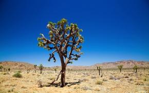 Wallpaper desert, Joshua Tree, Joshua tree, joshua tree national park, desert, trees, the sky, sky