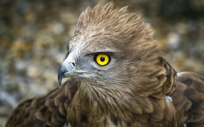 Wallpaper bird, eagle, feathers, yellow eye