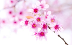Picture cherry, branch, spring, blooming
