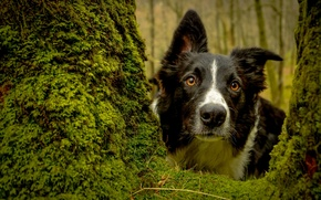 Picture dog, look, tree, The border collie, face, moss