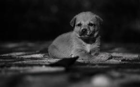 Wallpaper puppy, little dog