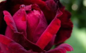 Picture rose, blur, Burgundy