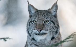 Picture face, portrait, predator, lynx, wild cat, (c) P. Meyer