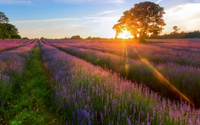 Picture field, summer, the sun, rays, tree, lavender