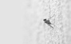 Picture White, the mosquito