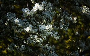 Picture flowers, branches, nature, spring, white, Apple, flowering, flowers