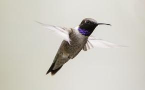 Picture bird, flight, wings, hummingbird