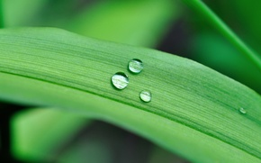 Picture green, drops, leaf