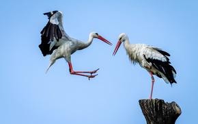 Picture bird, wings, beak, stork