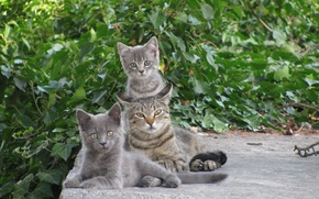 Picture greens, cat, kittens