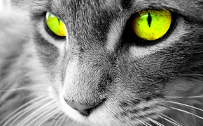 Picture eyes, Cats, Chenoa-white