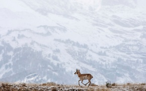Picture snow, mountains, deer, running
