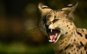 Picture fangs, big cat, Serval