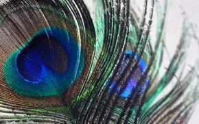 Picture nature, bird, macro, color, wild, feather, india, peacock, swaroop