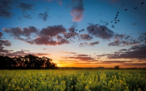 Picture field, landscape, sunset, birds, nature