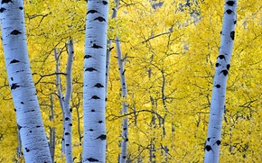 Wallpaper birch, aspen, trees, autumn, forest, leaves