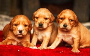 Picture puppies, cute, Golden Retriever