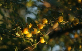 Picture yellow, green, tree, fruit, plum