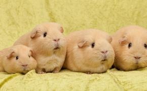 Wallpaper Quartet, family, Guinea pigs
