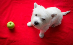 Picture look, Apple, dog, The West highland white Terrier