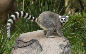 Picture grass, look, stone, tail, lemur, striped