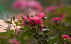 Picture flowers, rose, Bush