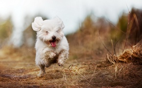 Picture field, dog, running