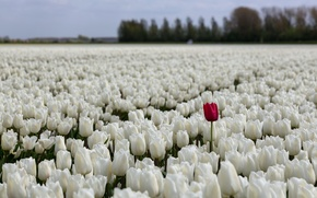 Picture field, flowers, nature, tulips
