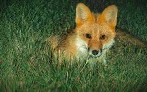 Picture animals, summer, night, Fox, Fox, summer, animals, hunter, night, hunter, Fox